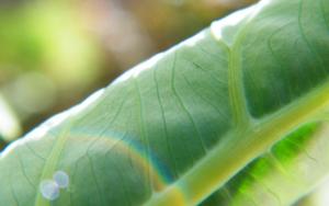101489-leaflike2