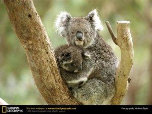 koala-cub